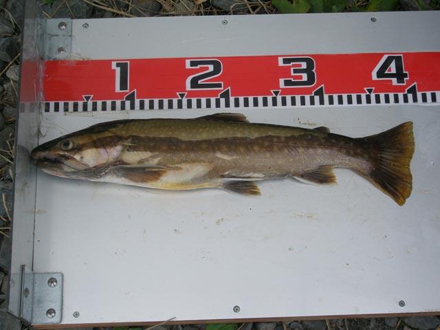 09岩魚ダービー2位