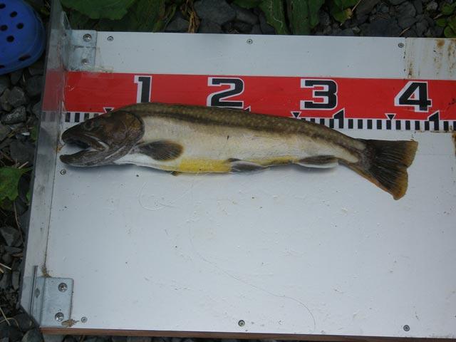 09岩魚ダービー3位